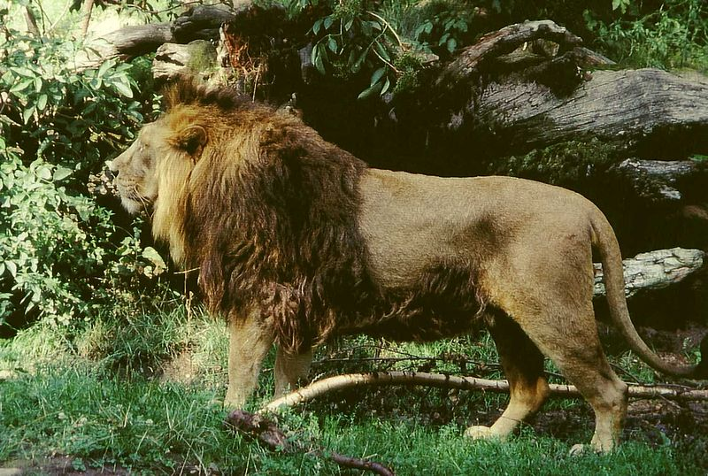 File:Panthera leo persica male.jpg